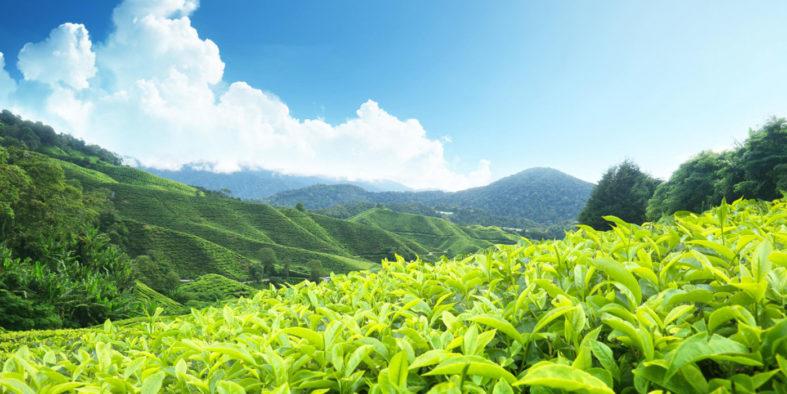 Tea-Plantation-munnar